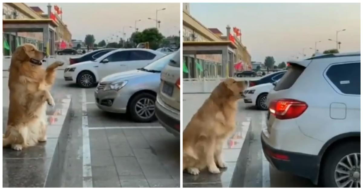 Σκύλος-παρκαδόρος καθοδηγεί αυτοκίνητα να σταθμεύσουν με ακρίβεια χιλιοστού