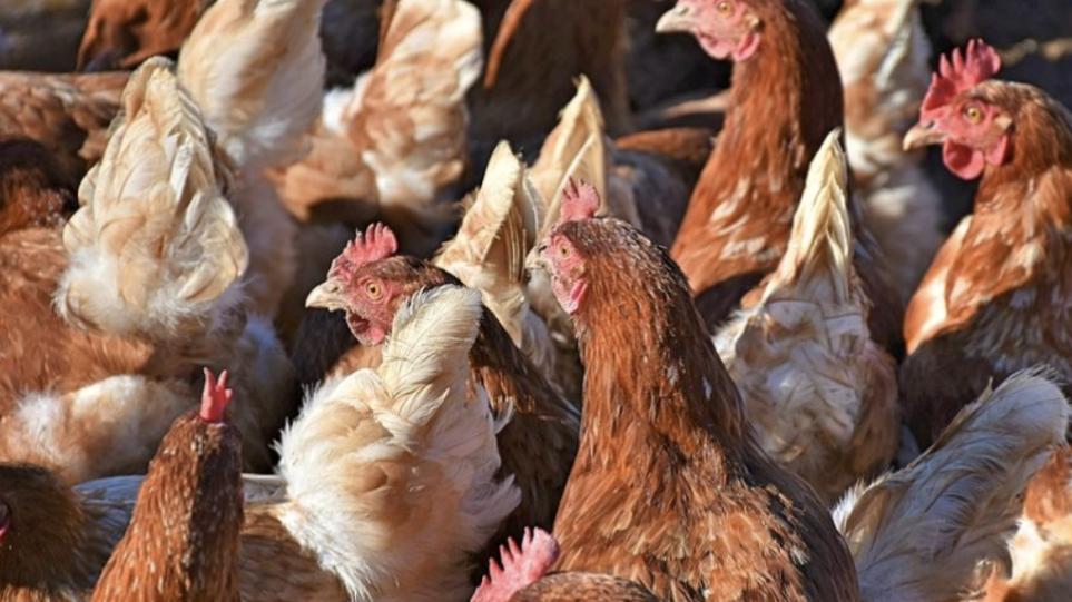 Αμερικανικό CDC: Μην αγκαλιάζετε τις κότες σας – Αυξάνονται τα κρούσματα σαλμονέλωσης