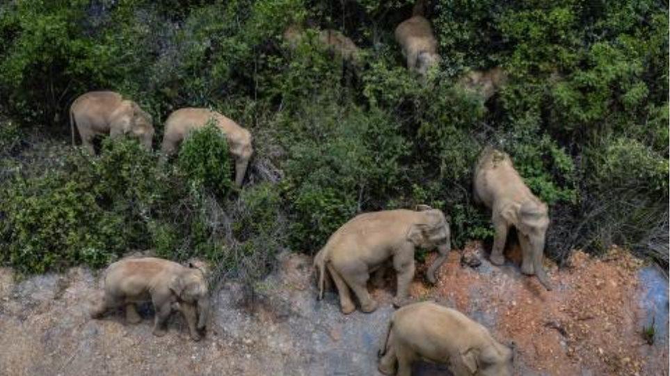 Σε εξέλιξη η «Oδύσσεια» των ασιατικών ελεφάντων