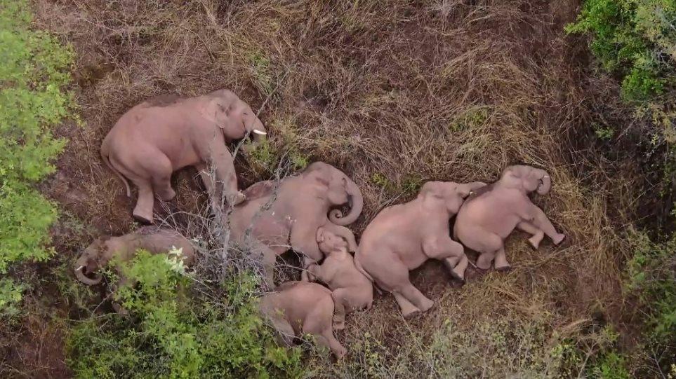 Κίνα: Viral o υπνάκος του κοπαδιού ελεφάντων που έχει διανύσει 500 χλμ σπέρνοντας… την καταστροφή!