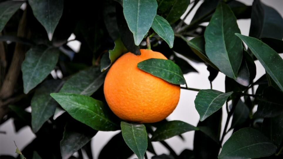 DW: Θα εμβολιαστούν και τα λεμόνια; – Κινδυνεύουν να γίνουν είδη πολυτελείας