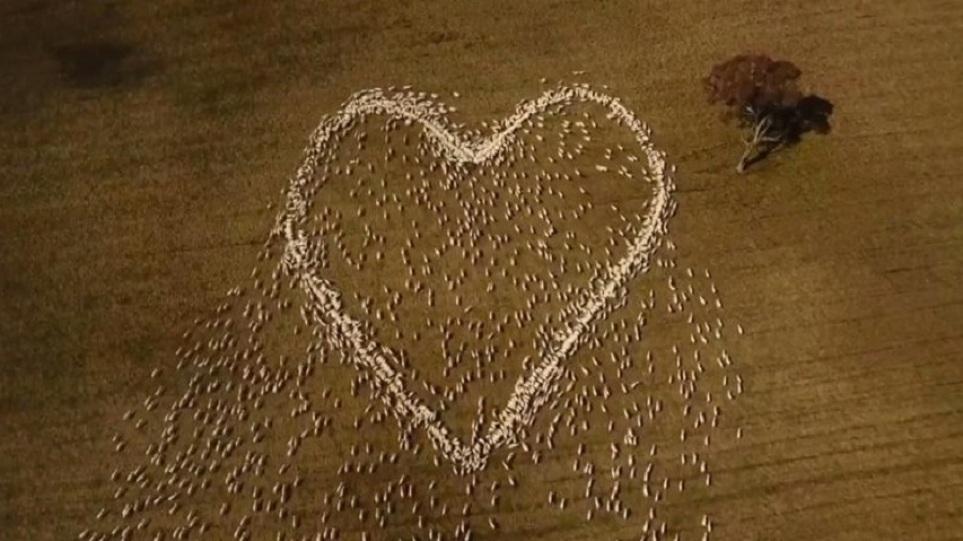 Αυστραλία: Κτηνοτρόφος είπε το τελευταίο «αντίο» στη θεία του με μια τεράστια καρδιά από πρόβατα – Δείτε το βίντεο