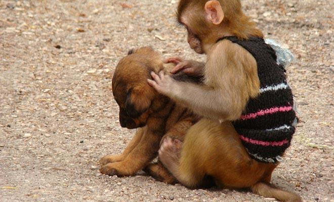 «Εγώ πότε θα γίνω μάνα;»: Mαϊμού στην Μαλαισία, φέρεται να απήγαγε κουτάβι για να το μεγαλώσει [Εικόνες-Βίντεο]