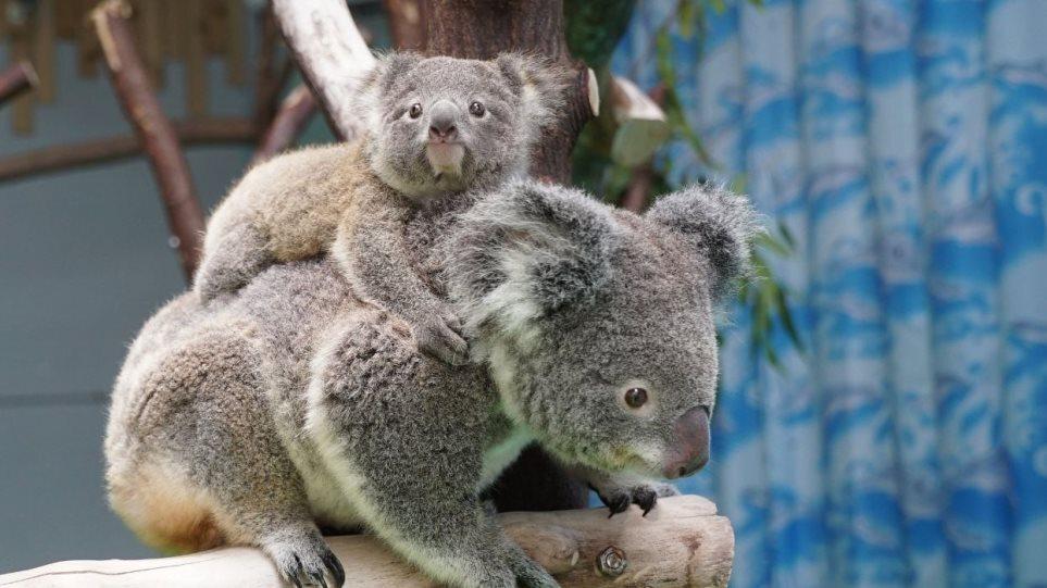 Τα κοάλα στην ουρά για να… εμβολιαστούν κατά της χλαμύδιας στην Αυστραλία